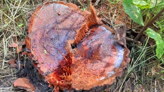 Rừng bị đốn hạ la liệt ở huyện biên giới Chư Prông (Gia Lai) ảnh 19