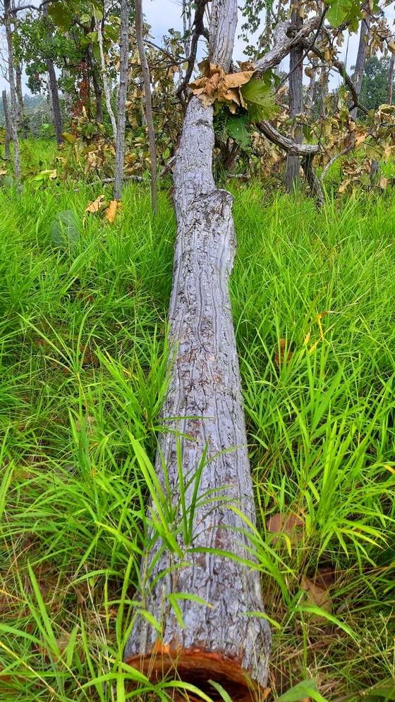 Rừng bị đốn hạ la liệt ở huyện biên giới Chư Prông (Gia Lai) ảnh 20