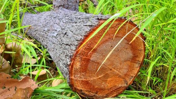 Rừng bị đốn hạ la liệt ở huyện biên giới Chư Prông (Gia Lai) ảnh 21