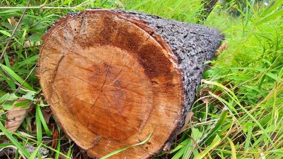 Rừng bị đốn hạ la liệt ở huyện biên giới Chư Prông (Gia Lai) ảnh 22