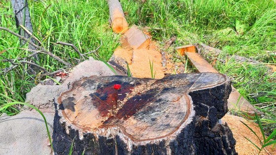 Rừng bị đốn hạ la liệt ở huyện biên giới Chư Prông (Gia Lai) ảnh 23