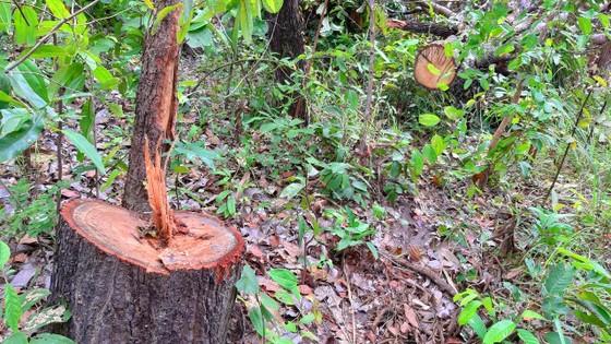 Chi cục Kiểm lâm vùng IV vào cuộc vụ rừng ở huyện biên giới bị đốn hạ ảnh 2