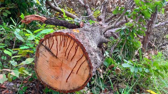 Chi cục Kiểm lâm vùng IV vào cuộc vụ rừng ở huyện biên giới bị đốn hạ ảnh 3