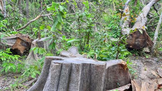 Chi cục Kiểm lâm vùng IV vào cuộc vụ rừng ở huyện biên giới bị đốn hạ ảnh 4