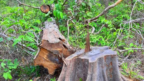 Chi cục Kiểm lâm vùng IV vào cuộc vụ rừng ở huyện biên giới bị đốn hạ ảnh 5