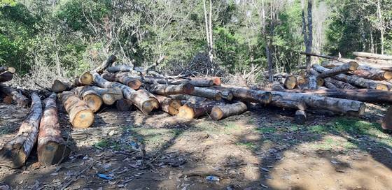 Tận thu gỗ dự án, cưa hạ thêm gỗ trái phép ảnh 1