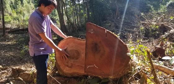 Tận thu gỗ dự án, cưa hạ thêm gỗ trái phép ảnh 2