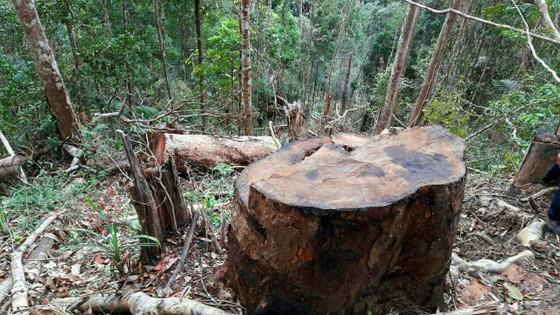 Điều tra vụ lâm tặc xẻ thịt 45m³ gỗ trái phép ảnh 1