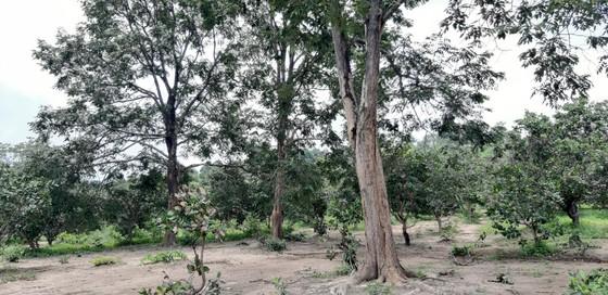 Quần thể gỗ Giáng Hương duy nhất bị xẻ thịt, chính quyền xã không biết ảnh 9