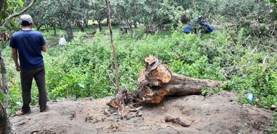 Quần thể gỗ Giáng Hương duy nhất bị xẻ thịt, chính quyền xã không biết ảnh 1