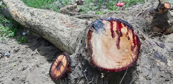 Quần thể gỗ Giáng Hương duy nhất bị xẻ thịt, chính quyền xã không biết ảnh 2