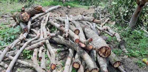 Quần thể gỗ Giáng Hương duy nhất bị xẻ thịt, chính quyền xã không biết ảnh 5