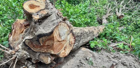 Quần thể gỗ Giáng Hương duy nhất bị xẻ thịt, chính quyền xã không biết ảnh 3