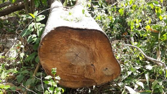 Truy tìm đối tượng trồng keo trên 1,7 ha rừng bị chặt phá  ảnh 1