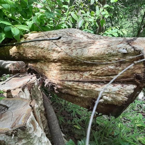 Chở gỗ lậu, một người bị gỗ đè chết ảnh 1