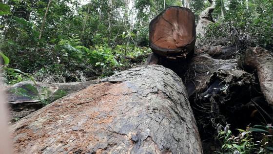 Khởi tố vụ cưa hạ gỗ giáng hương cổ thụ ở Gia Lai ảnh 1