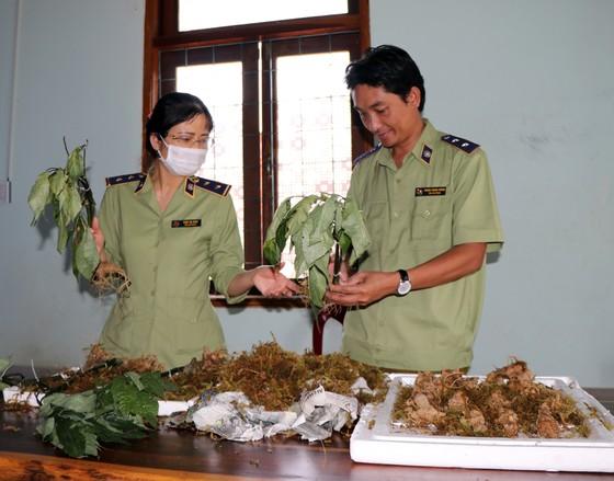 Bắt vụ vận chuyển các loại củ 'đội lốt' sâm Ngọc Linh Kon Tum sau 2 tháng mật phục ảnh 1