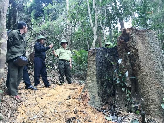 Lâm tặc điều xe độ chế vào rừng 'xẻ thịt' gỗ giáng hương quý hiếm ảnh 1