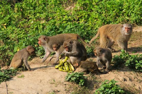 Không cho khỉ ăn để bảo vệ đàn khỉ trên bán đảo Sơn Trà ảnh 1