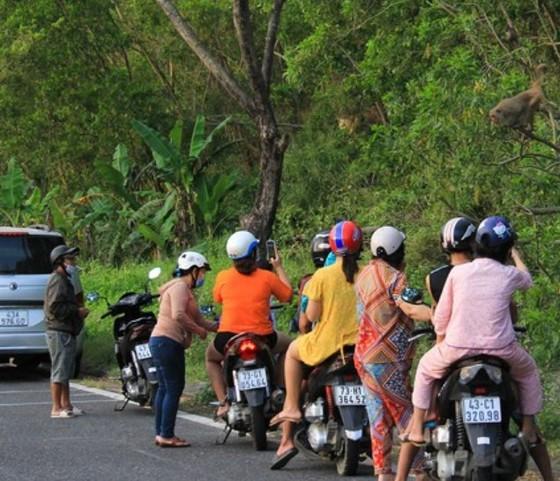 Không cho khỉ ăn để bảo vệ đàn khỉ trên bán đảo Sơn Trà ảnh 2