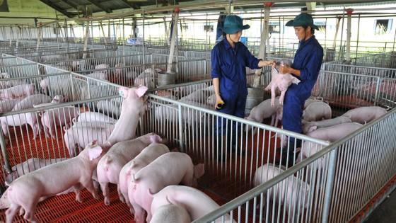 Heo giống quyết đinh hiệu quả kinh tế trong chăn nuôi ảnh 2