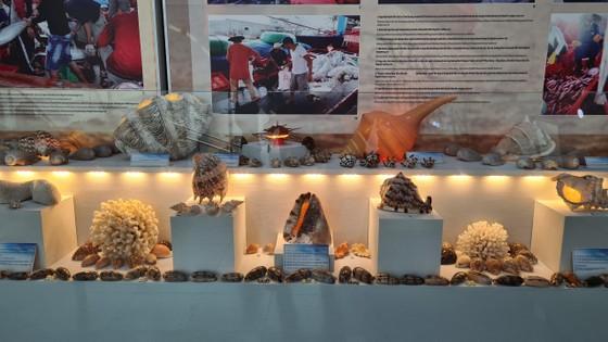 Những vỏ ốc từ quần đảo Hoàng Sa – Trường Sa giữa lòng Đà Nẵng ảnh 6