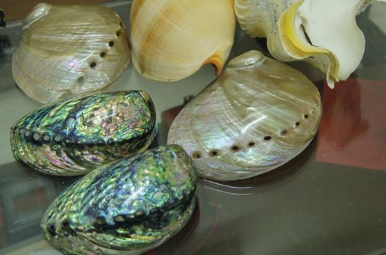 Những vỏ ốc từ quần đảo Hoàng Sa – Trường Sa giữa lòng Đà Nẵng ảnh 4