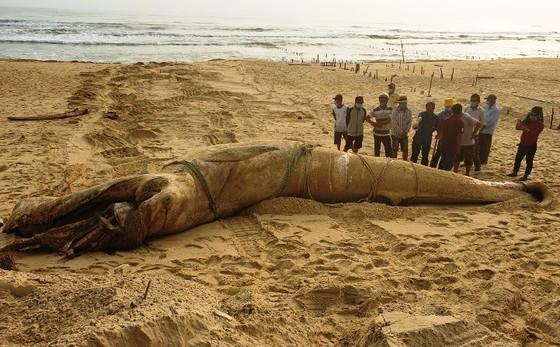 Một cá voi dài 8m trôi dạt vào bờ biển Quảng Nam ảnh 1