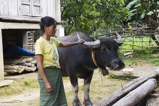 Cấp trâu, bò hỗ trợ giảm nghèo làm lây lan dịch bệnh ảnh 1