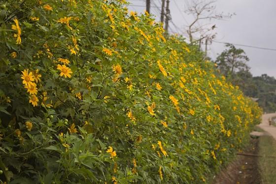 Độc đáo đường hoa dã quỳ nơi miền tây Quảng Trị ảnh 1