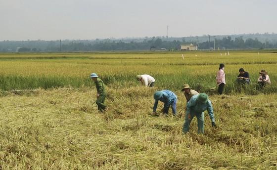 Tranh thủ nắng ráo nông dân tất bật thu hoạch lúa bị ngã đổ ảnh 2