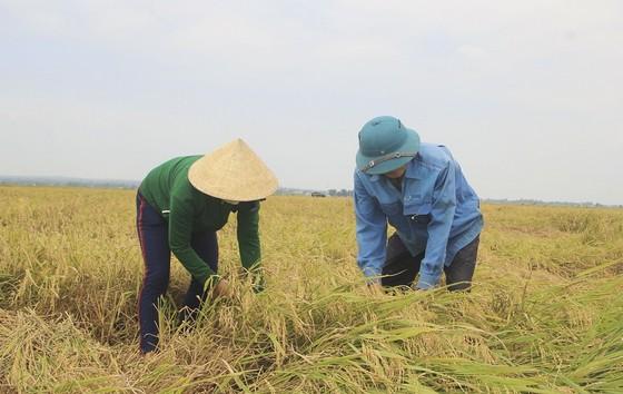 Tranh thủ nắng ráo nông dân tất bật thu hoạch lúa bị ngã đổ ảnh 3