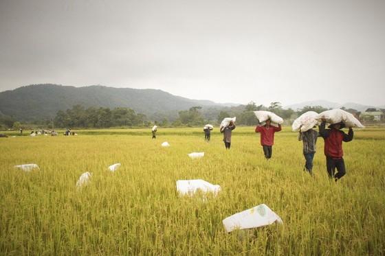 Tranh thủ nắng ráo nông dân tất bật thu hoạch lúa bị ngã đổ ảnh 4