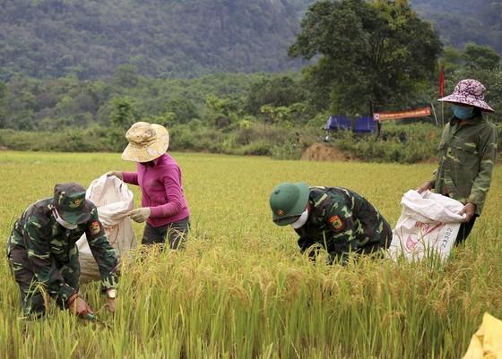 Tranh thủ nắng ráo nông dân tất bật thu hoạch lúa bị ngã đổ ảnh 5