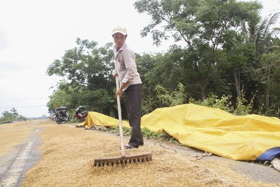Tranh thủ nắng ráo nông dân tất bật thu hoạch lúa bị ngã đổ ảnh 8