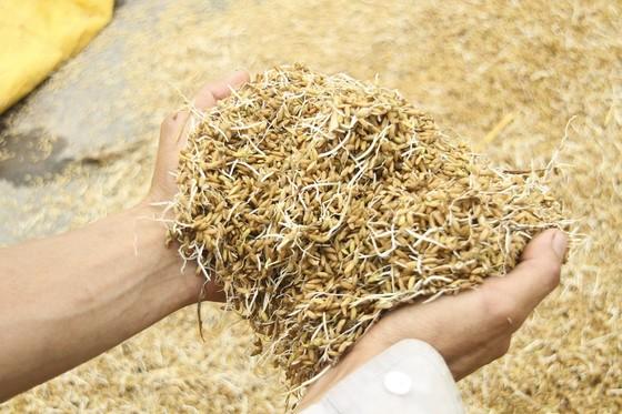Tranh thủ nắng ráo nông dân tất bật thu hoạch lúa bị ngã đổ ảnh 9