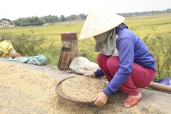 Tranh thủ nắng ráo nông dân tất bật thu hoạch lúa bị ngã đổ ảnh 10