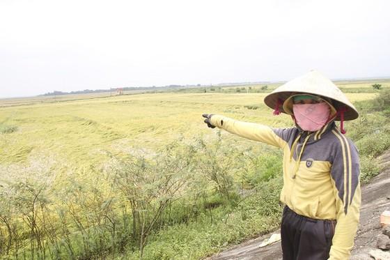 Tranh thủ nắng ráo nông dân tất bật thu hoạch lúa bị ngã đổ ảnh 1