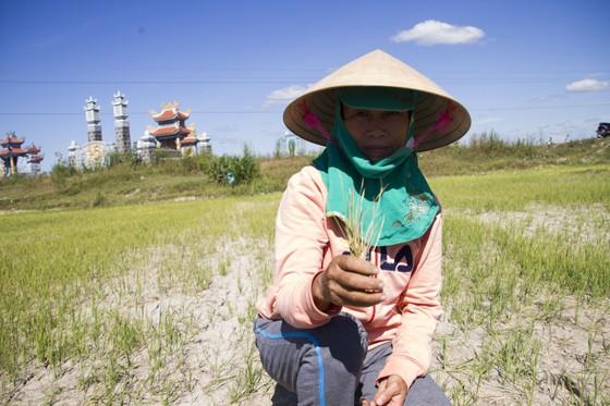 Quảng Trị: Đồng ruộng nứt nẻ, cây lúa héo khô ảnh 3