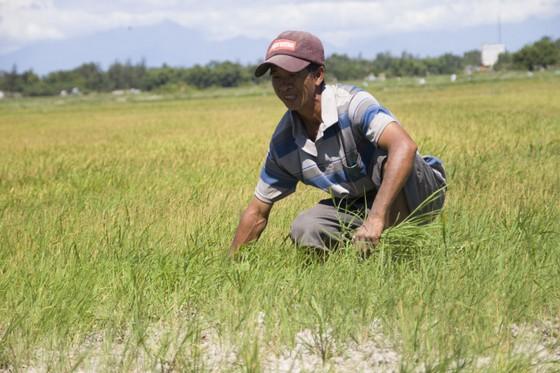 Quảng Trị: Đồng ruộng nứt nẻ, cây lúa héo khô ảnh 4