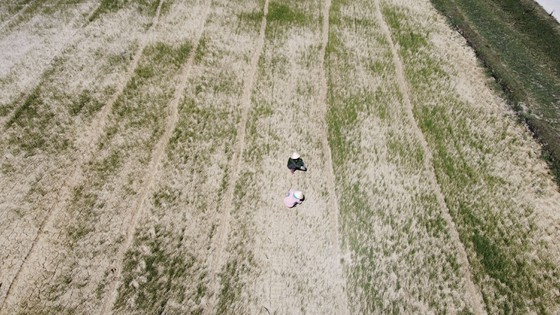 Quảng Trị: Đồng ruộng nứt nẻ, cây lúa héo khô ảnh 2