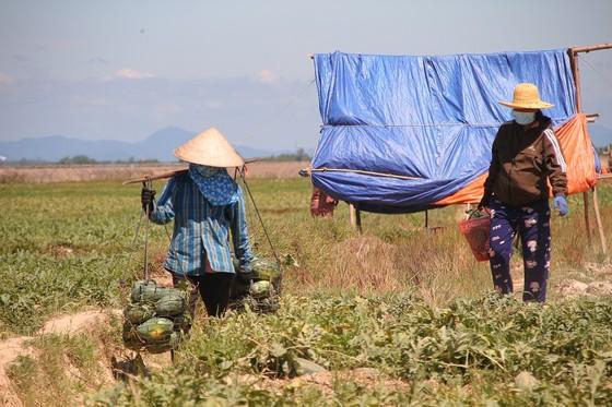 Trồng dưa hấu trên đất lúa mùa khô hạn cho thu nhập cao ảnh 1