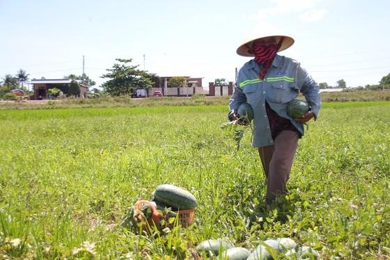 Trồng dưa hấu trên đất lúa mùa khô hạn cho thu nhập cao ảnh 2