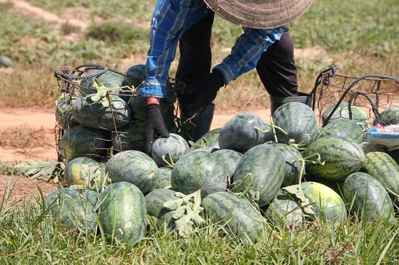 Trồng dưa hấu trên đất lúa mùa khô hạn cho thu nhập cao ảnh 5