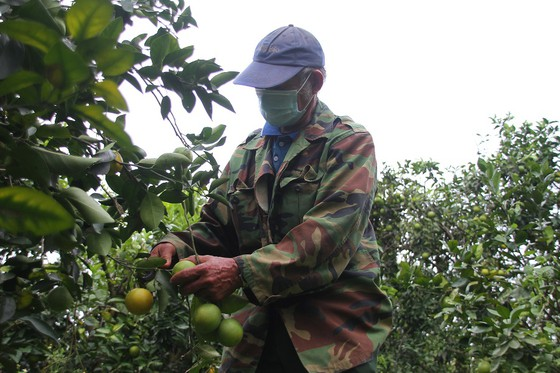 Nông dân Quảng Trị tìm đầu ra cho trái cam ảnh 1
