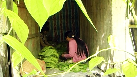 Lá trầu xuất khẩu sang Trung Quốc được giá, người trồng lãi cao ảnh 3