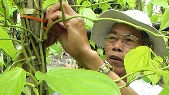 Lá trầu xuất khẩu sang Trung Quốc được giá, người trồng lãi cao ảnh 4