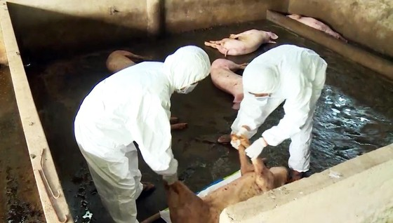 Hậu Giang: Một hộ nuôi phải tiêu hủy đàn heo 1.200 con mắc dịch tả heo châu Phi  ảnh 1