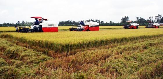 ĐBSCL: Nông dân bán lúa nhanh, giá gạo xuất khẩu tăng  ảnh 1