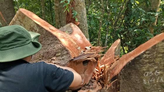 Phát hiện vụ phá rừng quy mô lớn ở Đắk Lắk ảnh 1